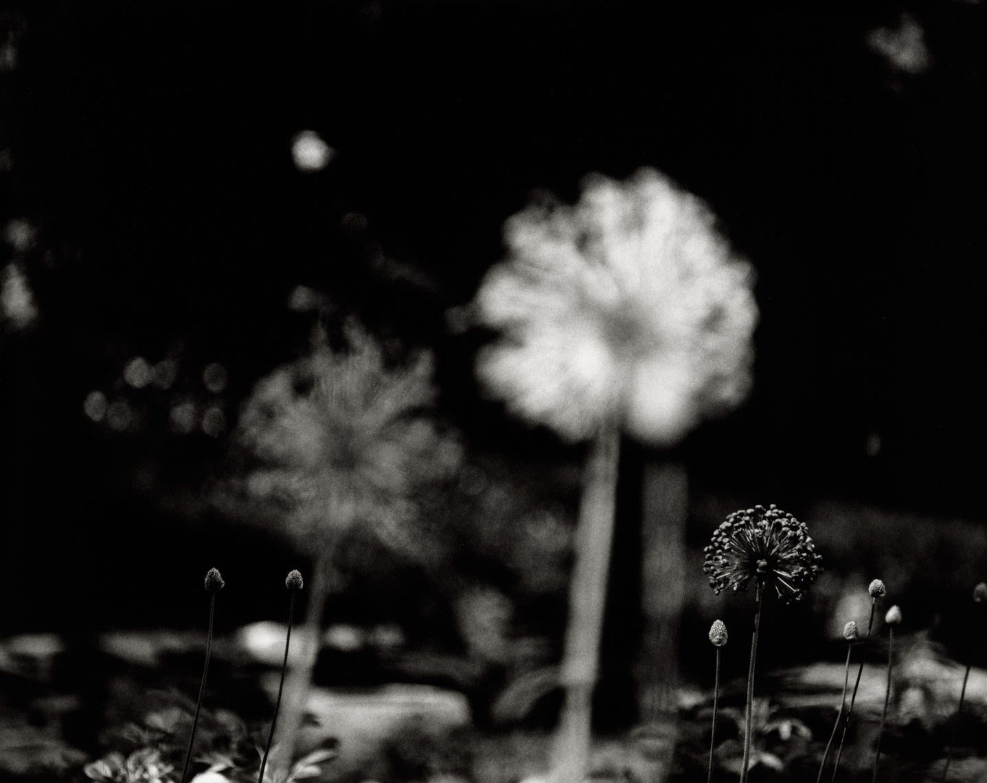 David Lebe; Alliums, 1996, garden black and white photograph