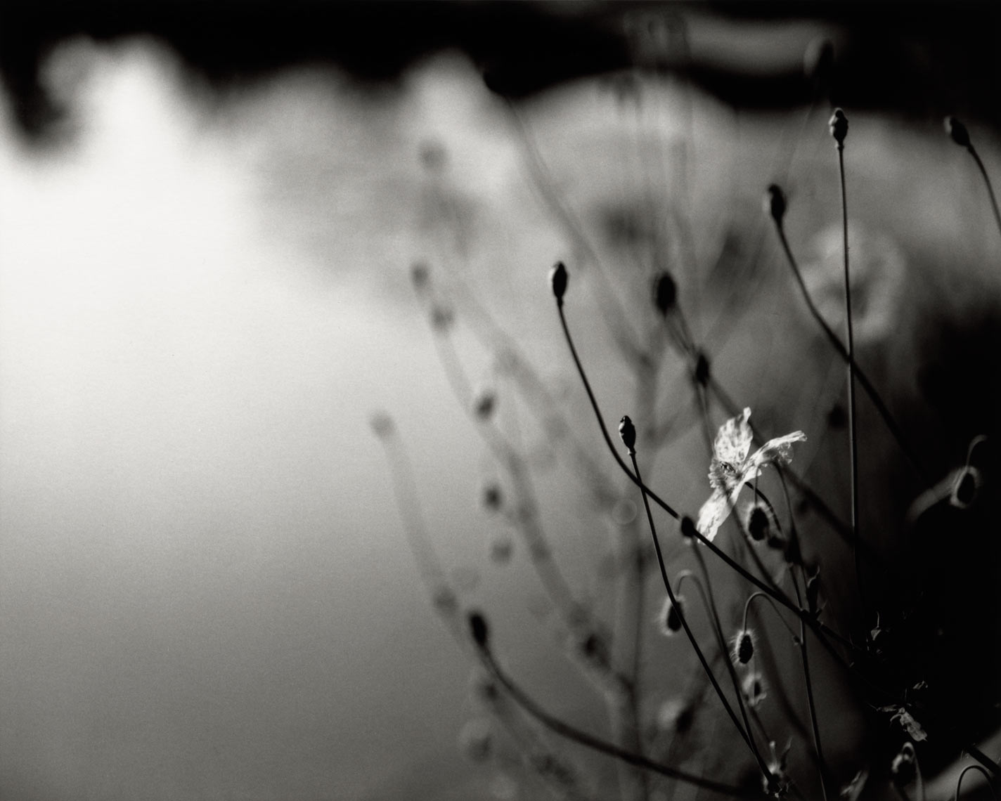 David Lebe; Armenian Poppy Pond, 1996, garden black and white photograph