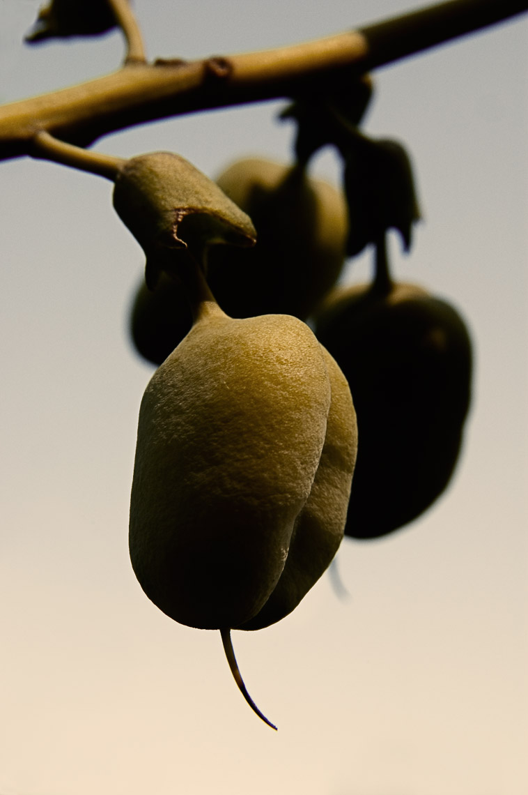 David Lebe; Baptisia Seed Pods, 2006, color photograph