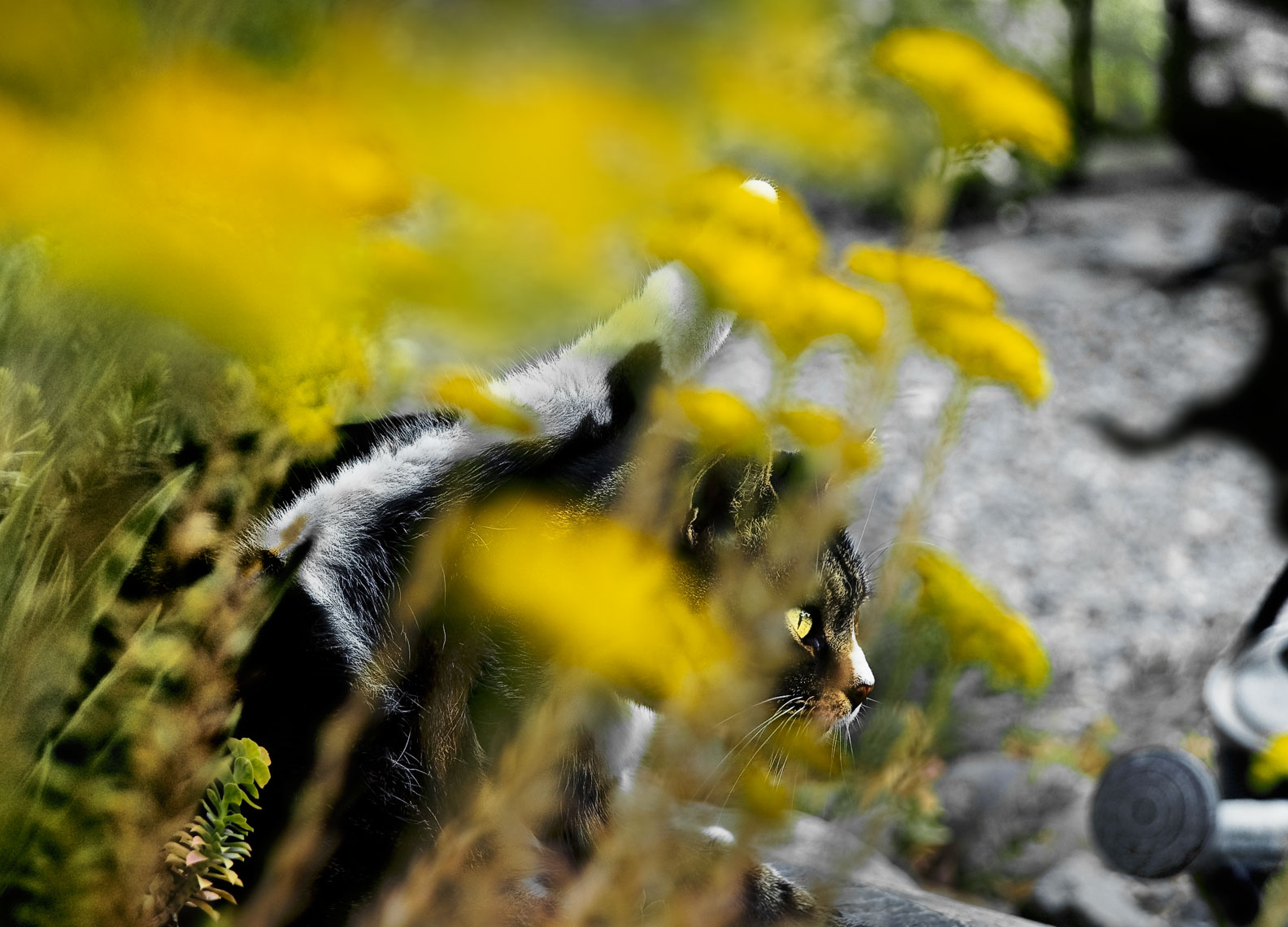 David Lebe; Cat Behind the Sedum, 2005, cat photograph
