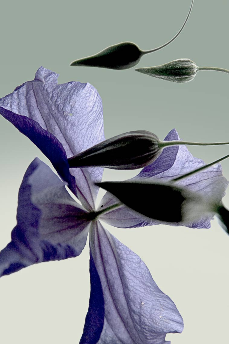 David Lebe; Clematis,  2005, color photograph