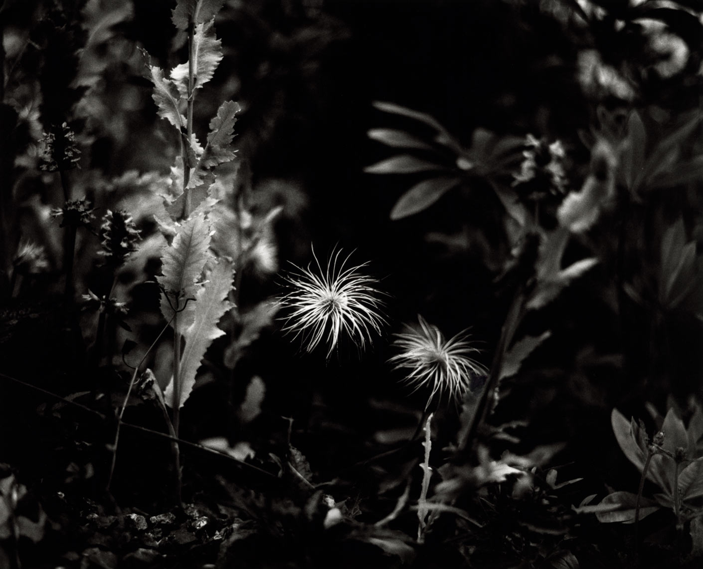 David Lebe; Clematis Tangutica, 1997, garden black and white photograph