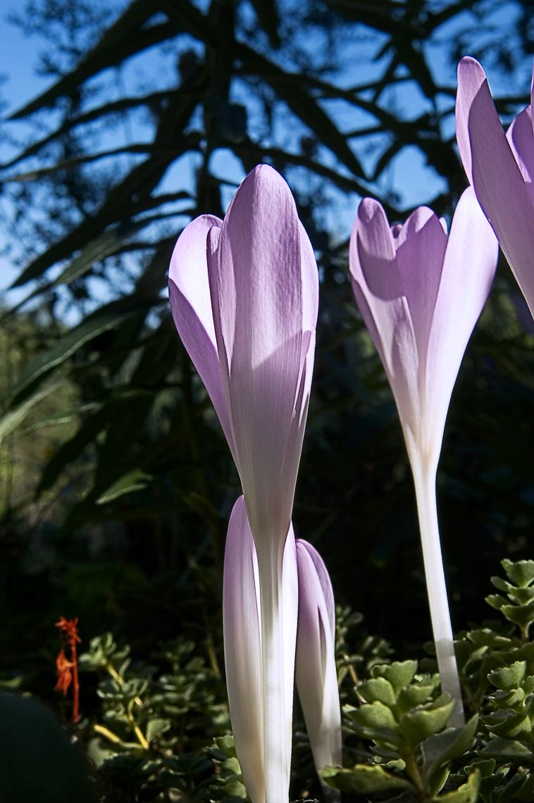 David Lebe; Colchicums Rising, 2005, color photograph