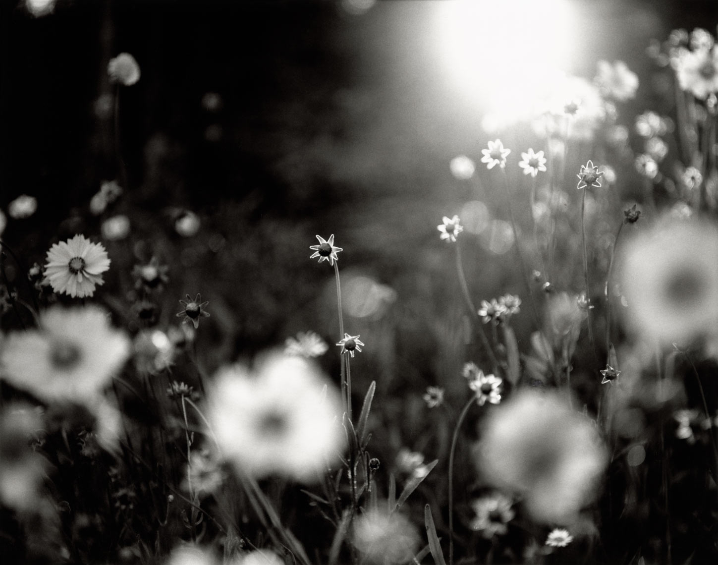 David Lebe; Coreopsis At Sunset, 1996, garden black and white photograph