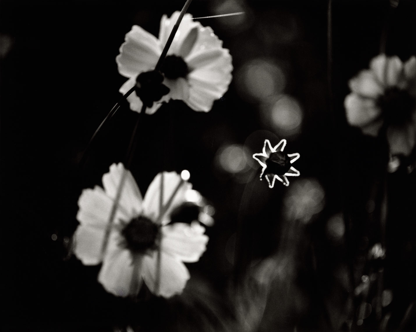 David Lebe; Coreopsis Glowing Star 1996, 2, garden black and white photograph