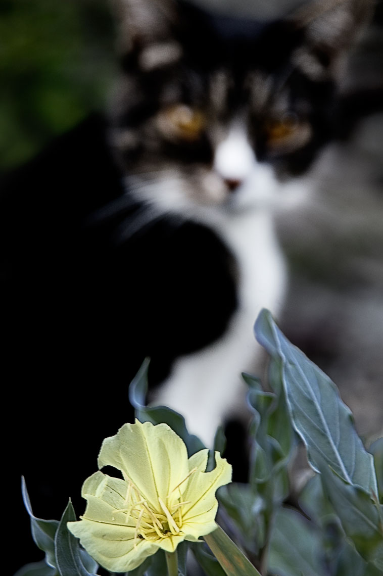 David Lebe; Evening Primrose, 2006, cat photograph