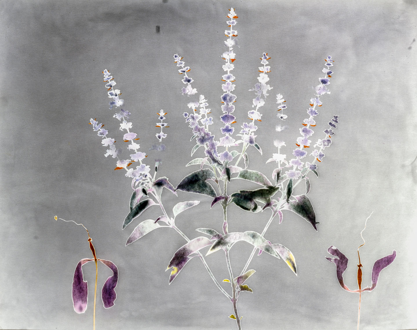 David Lebe; Garden 2, 1979, hand colored photogram