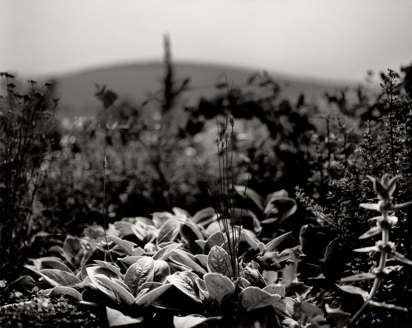 David Lebe; Lambs Ears Phudd Hill, 1997, garden black and white photograph
