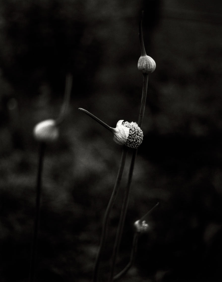 David Lebe; Leeks, 1997, garden black and white photograph