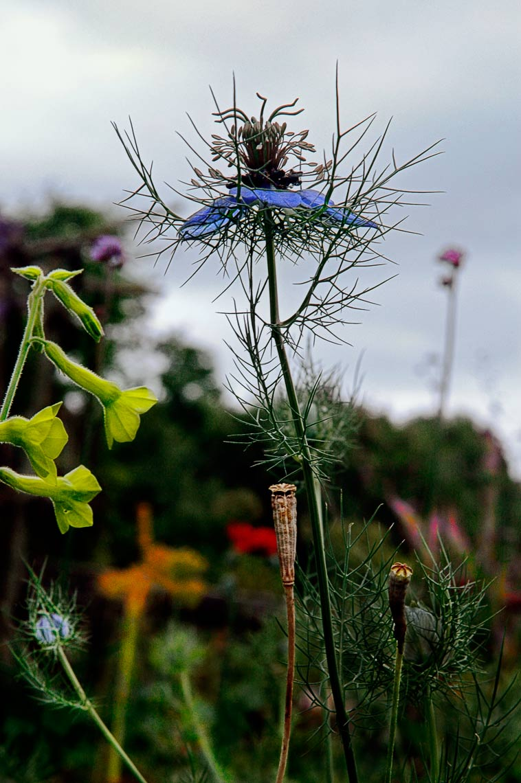 David Lebe; Love In A Mist, 2004, color photograph