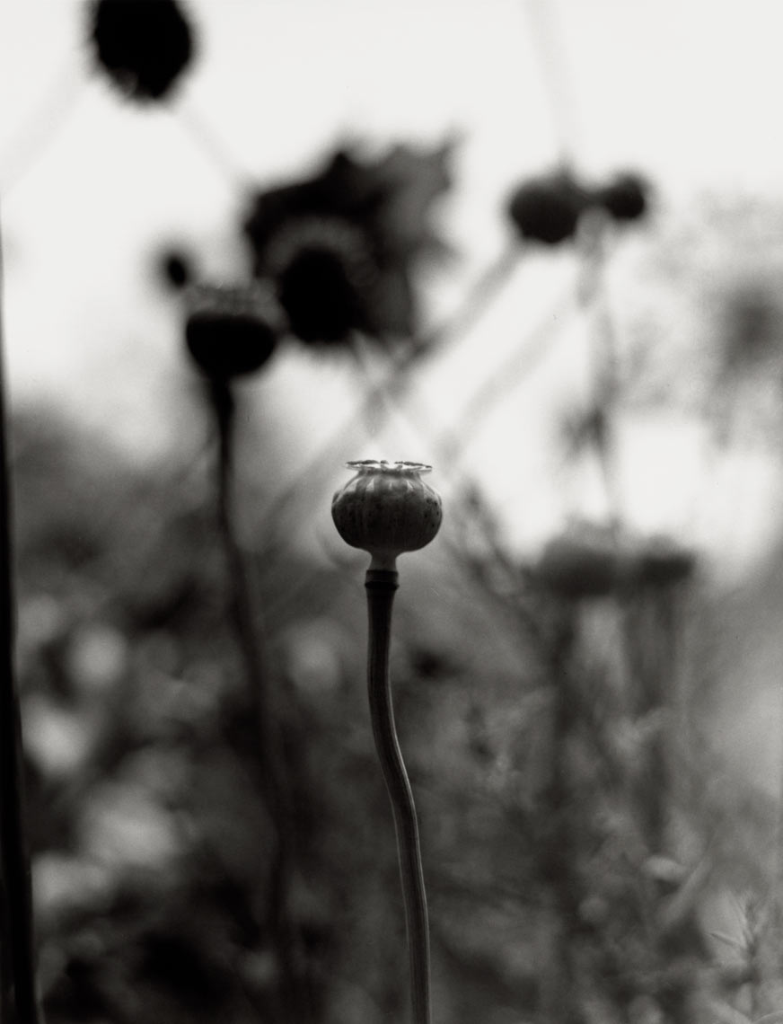 David Lebe; Opium Poppies,1996, garden black and white photograph