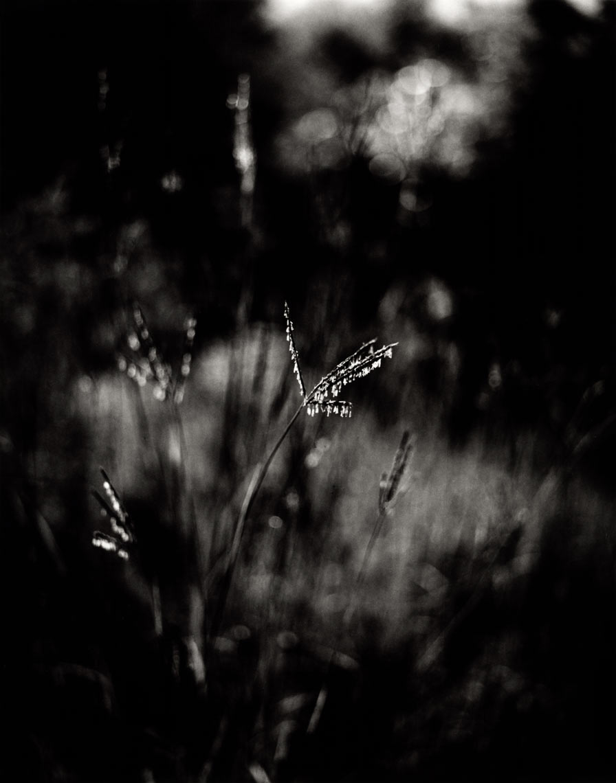 David Lebe; Patch of Big Blue Stem, 1997, garden black and white photograph