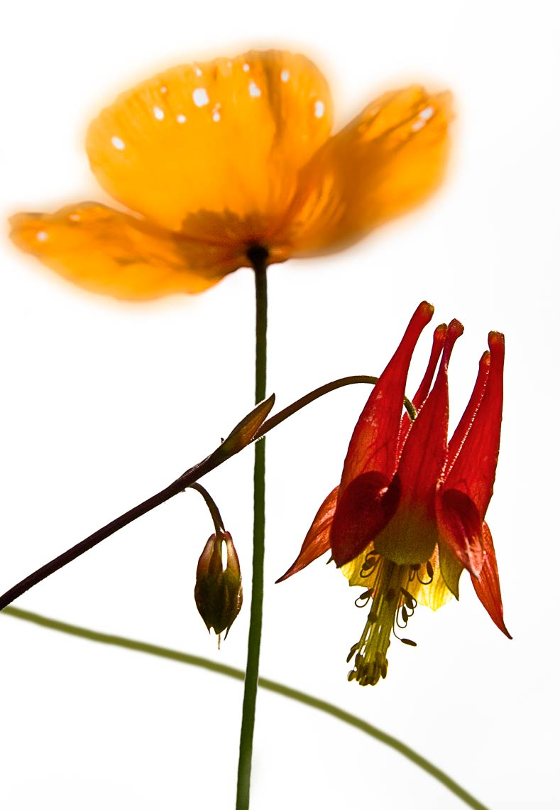 David Lebe; Poppy and Columbine, 2006, color photograph