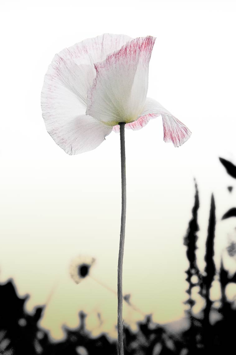 David Lebe; Red Fringed Poppy 2, 2006, color photograph