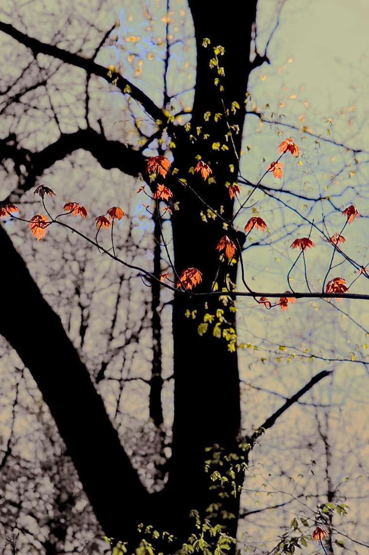 David Lebe; Red Maple Spring, 2005, color photograph