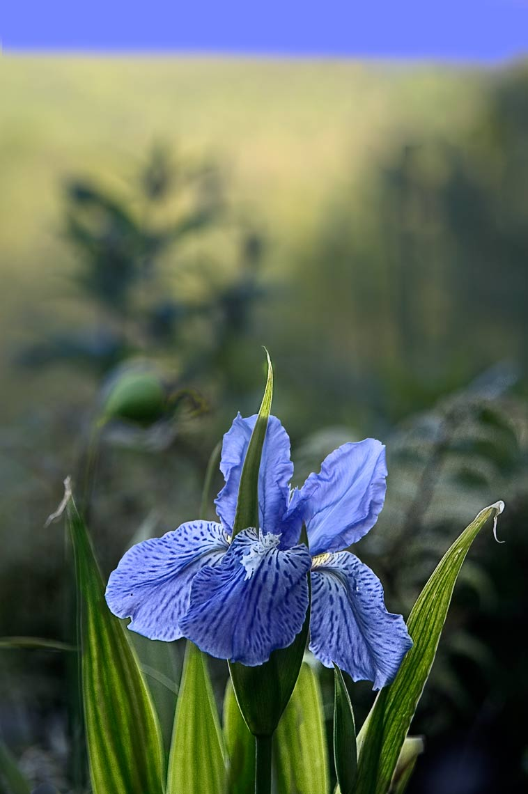 David Lebe; Roof Iris, 2006, color photograph