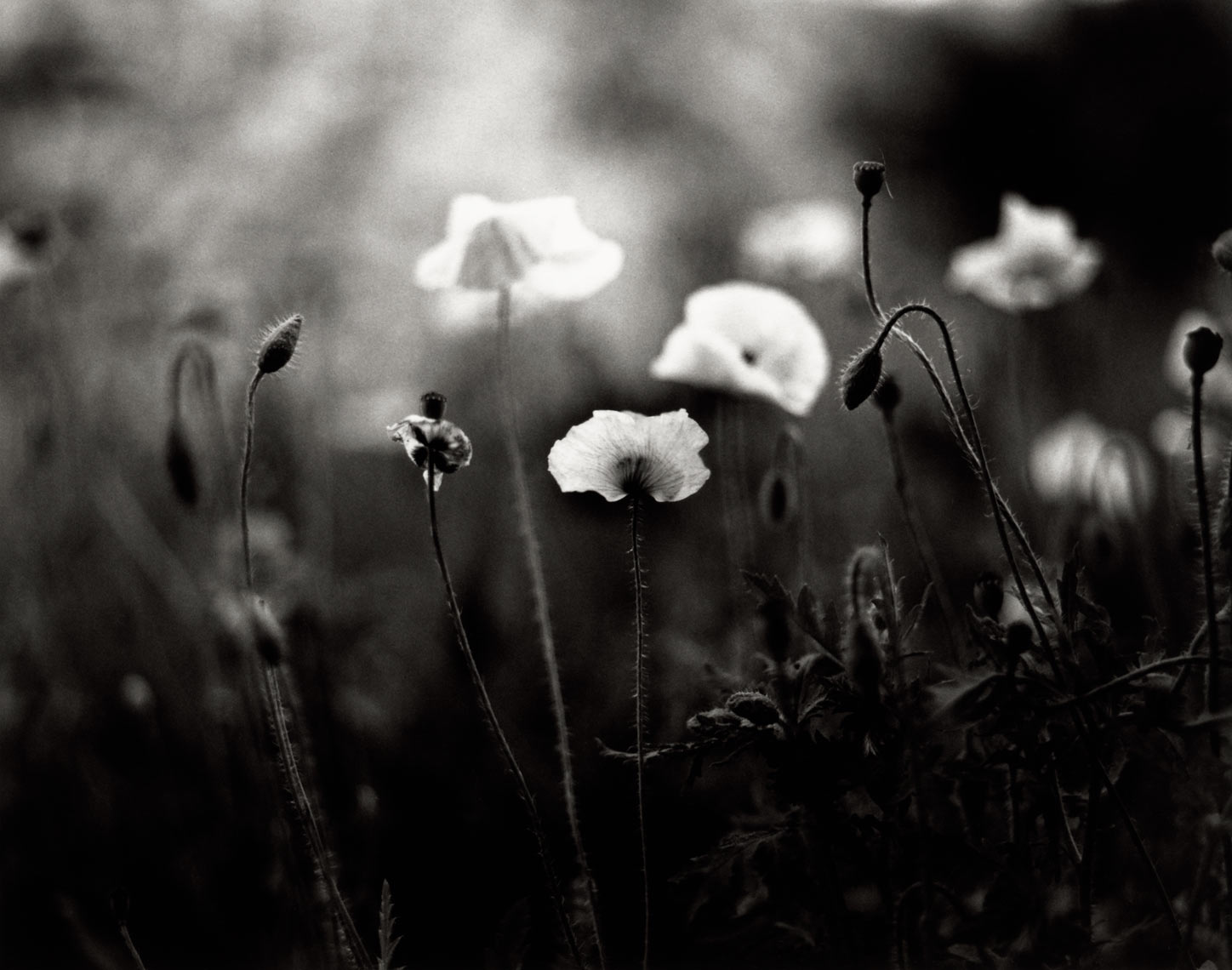David Lebe; Shirley Poppies, 1997, garden black and white photograph