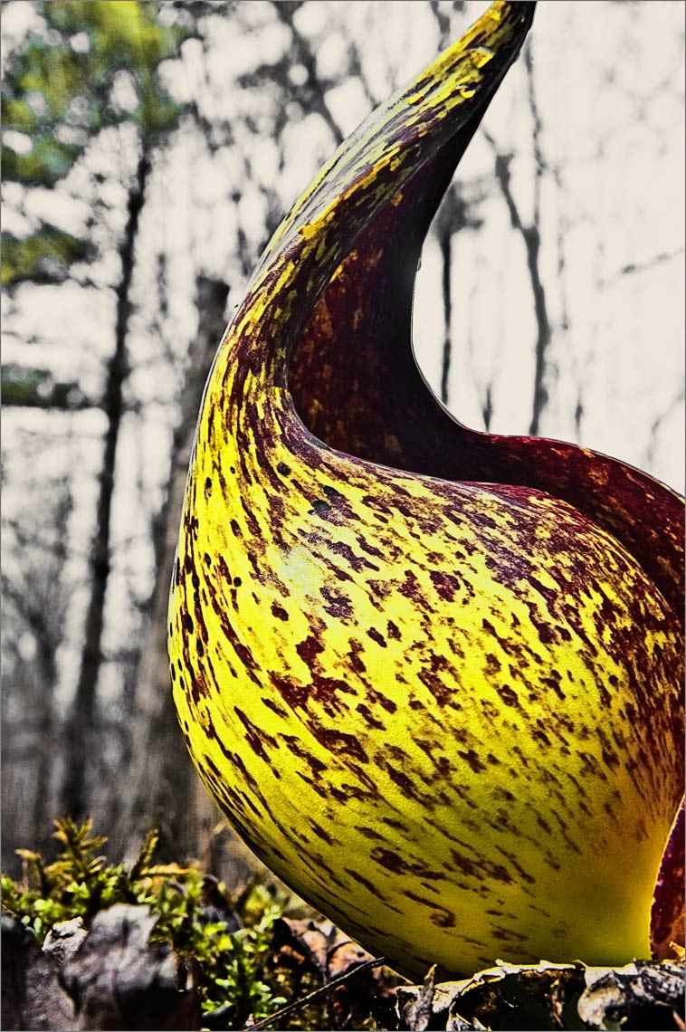 David Lebe; Skunk Cabbage Bloom, 2007, color photograph