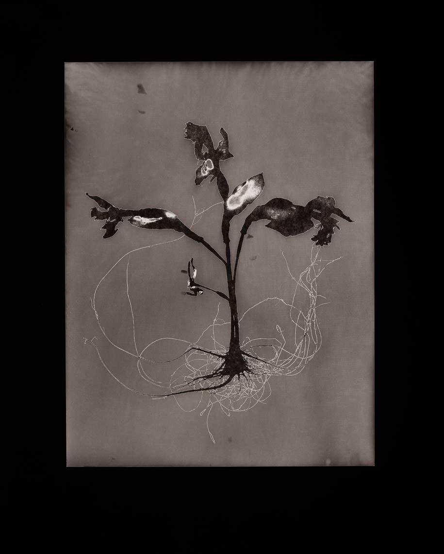 David Lebe; Specimen 17, 1979, black and white photogram