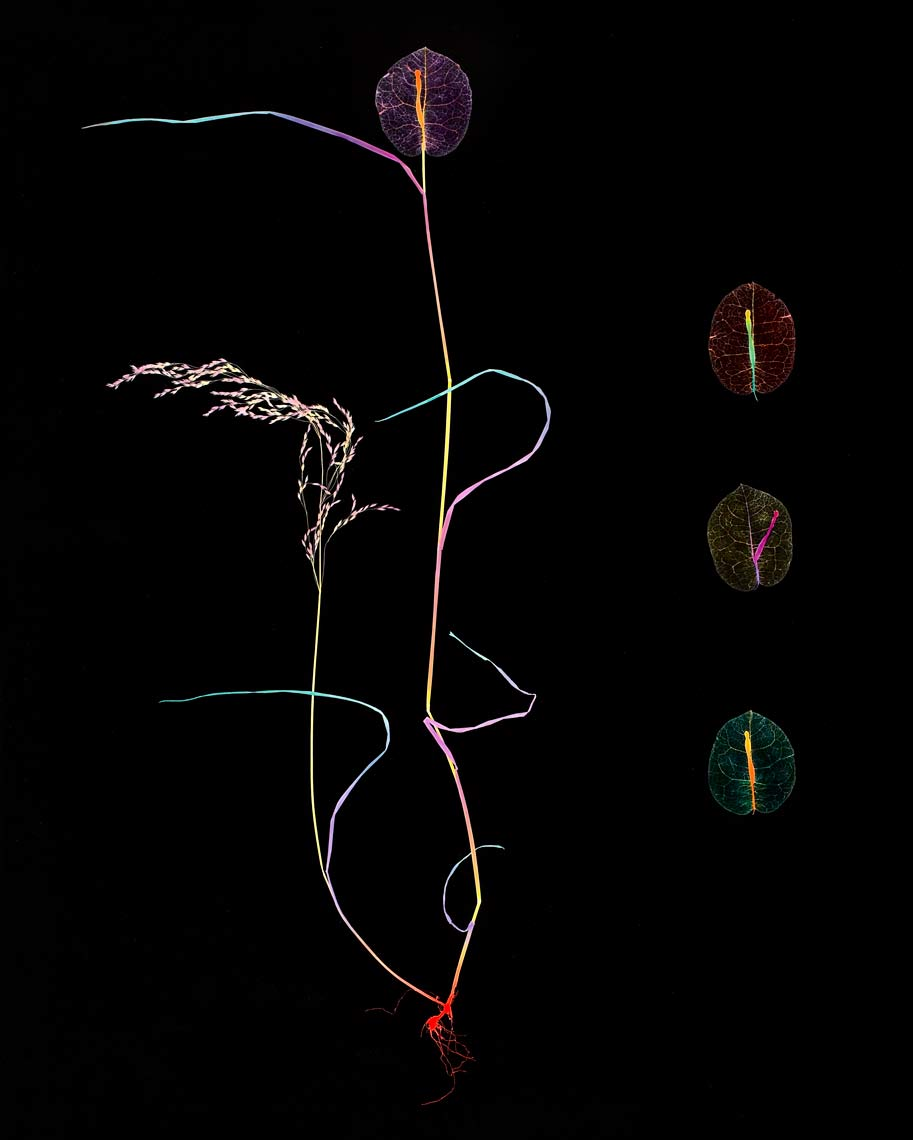 David Lebe; Specimen 4A, 1981, hand colored photogram